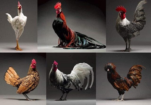 Mơ thấy gà đánh con gì?
