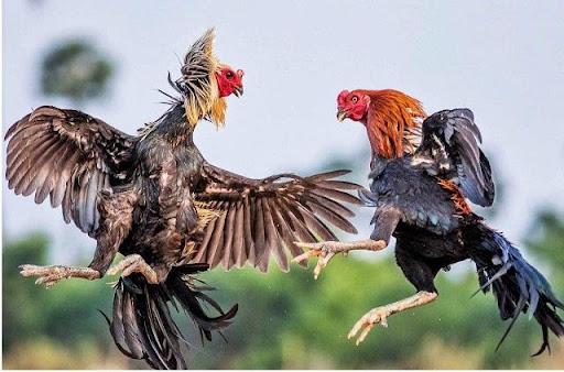 Mơ thấy gà là may hay rủi